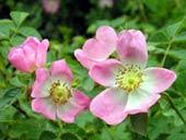 Comprar Aceite de rosa mosqueta lavanda