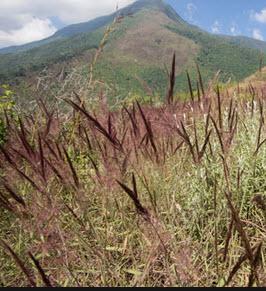 Comprar Insecticida Organico Melinis Minutiflora