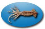 Compro Calamar (Illex Argentinus)