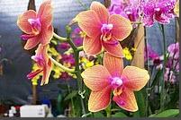 Comprar Phalaenopsis Art Shade