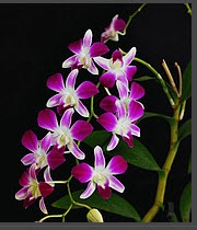 Dendrobium Phalaenopsis Sonia