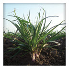 Rye Grass Devis