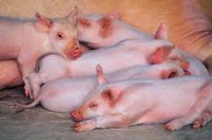 Cerdo  de Raza Cárnica