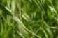 Seeds of oats