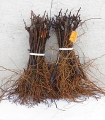 Barbechos o plantas a raíz desnuda