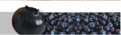 Cranberries, cranberry family