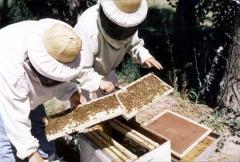 Abejas, miel, colmenas, honey, apicultura,