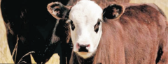 Lizino-protein forage additives