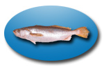 Pescadilla (Scinoscion Striatus)