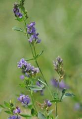 Alfalfa Granulada