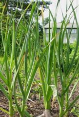 Insecticida  Allium Sativum