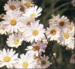 Insecticida Chrysanthemum Cineraiifolium