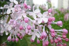Extracto de clavo de olor (herbicida)