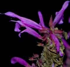 Insecticida Natural Salvia Purpurea
