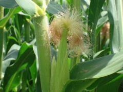 Corn stigma
