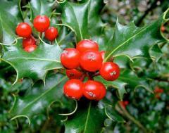 Grass white mistletoe (mistletoe)