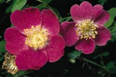 Rosa mosqueta, Aplicada a la industria