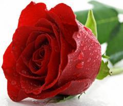 Rosa Roja,  Aplicada a la industria Alimenticia,
