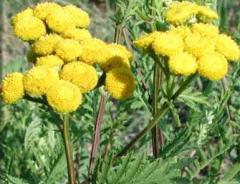 Flowers of tansy