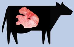 Pulmón de vaca