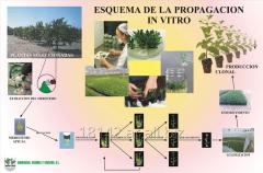 Producción de plantines frutales y forestales de origen meristemáticos.
