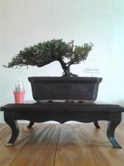 Bonsai de Junipero horizontalis 'Plumosa'