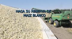 MAIZ BLANCO GMO