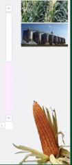 Hibridos y semillas del Maiz