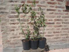 Plantines de arándano