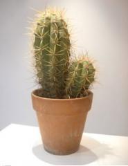 Cactus tricho cereus
