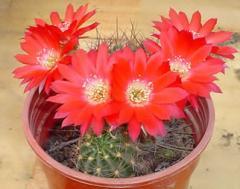 Cactus Lobivia