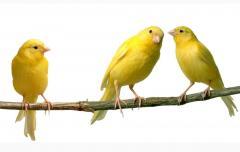 Piensos secos para canarios