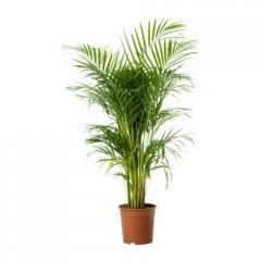 Planta 12K