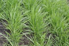 Seeds of forage grasses