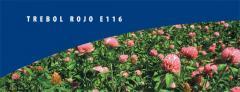 Trébol blanco (trifolium repens) Trebol Rojo