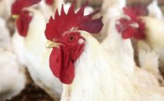 Pollos broilers