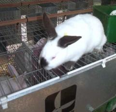 Conejos reproductores Machos Paternales