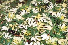 Plantas - Heptapleurum (Arbolicola)