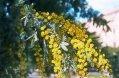 Árbol Acacia Baileyana