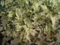 Arbusto Abutilon Hybridum Savatzii