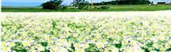 Polen de flor de manzanilla