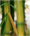 Plantas de Bambú Bambusa vulgaris