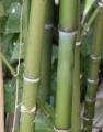 Plantas de Bambú Corredoras Phyllostachys aurea