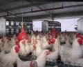 Industria Avícola - Reproductoras Abuelas y Madres