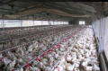 Industria Avícola - Parrilleros