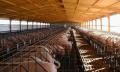 Industria Porcina - Galpones