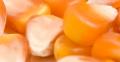 Semillas de Maiz SPS Megasilo CL