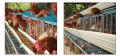 Jaulas de gallinas