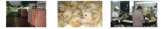 Pedido Criaderos de pollos