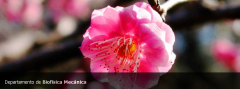 Sakura: